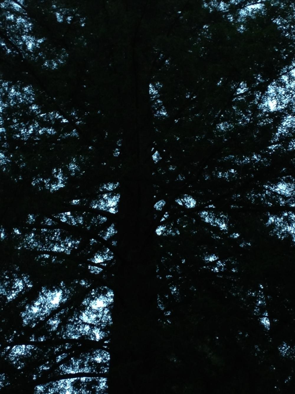 Redwood evening